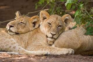Mittagsruher der Löwinnen