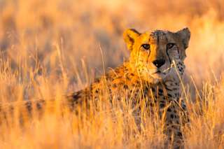 Gebard im Etosha Nationalpark